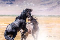 The Battle (Just Used Pixels) Tags: utah desert stallions wildhorses