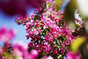 Red Apple Blossom, Lohja 4