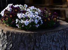 (:Linda:) Tags: germany village pansy thuringia bark flowerpot brden