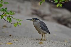 Mangrove Heron (Butorides striata) (shaneblackfnq) Tags: ocean sea bird beach heron north australia mangrove mossman queensland tropical far tropics fnq striata butorides estuarine cooya shaneblack