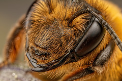 Miner bee Portrait (Dalantech) Tags: macro nature insect bee topaz macrophotography minerbee topazlabs