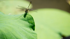 Stand Still (Ted Tsang) Tags: plants nature leaves insect shadows lotus dragonfly bokeh taiwan olympus  macroshot    em1 nantou    chunghsingnewvillage 40150mmf28