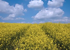 sunny field (sussexscorpio) Tags: sunny clouds fluffy yellow blue field kent rapeseed rape oilseedrape rapa rappi rapaseed flowering brassicaceae vegetable rpa rpum canon canon60d landscape