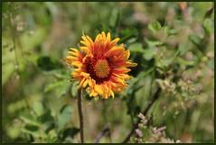 Blanket Flower (LavenderMillie) Tags: flowers outdoors dof depthoffield alberta wildflowers bighillsprings