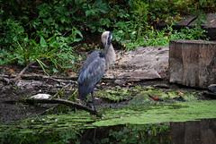 DSC_0060 (rlnv) Tags: bird heron animal newjersey princeton greatblueheron delawareandraritancanalstatepark 300mmf45ai nikond40x newjerseystateparks
