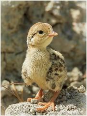 PERDIZ ROJA (BLAMANTI) Tags: aves perdizroja avesdeespaña