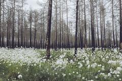 IMG_8279 (L) Tags: flowers trees canon forrest 247028l deadtrees forrestfire burnedtrees vsterfrnebo eos5dmkiii hlleskogsbrnnan 2470287
