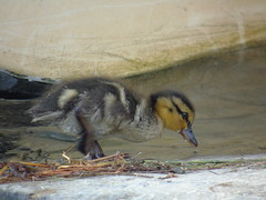 Duckling (stuartcroy) Tags: orkney island duck duckling sony bird beautiful bay beach black brown bill cute
