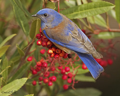 WESTERN BLUEBIRD (sea25bill) Tags: california blue sun male bird nature animal bush raw wildlife avian redberries westernbluebird toyon