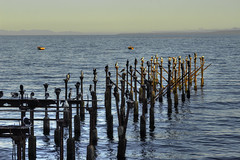Caleta Miramar, Pichi Pelluco, Puerto Montt (Cristian Alczar C.) Tags: chile birds puerto muelle mar dock aves pichi montt miramar caleta pelluco loslagos