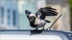 Hoodie (pstani) Tags: uk skye bird scotland hoodie crow corvid portree hebrides hoodedcrow corvuscornix