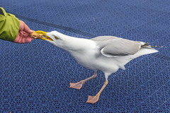 I Want Your Breakfast (dietmar-schwanitz) Tags: bird animal breakfast essen eating seagull tier vogel frhstck lightroom seemwe mittelmeermwe dietmarschwanitz nikond750 nikonafsnikkor24120mmf40ged