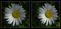 Daisy 1 - Crosseye 3D (DarkOnus) Tags: wild flower macro closeup lumix stereogram 3d crosseye weed pennsylvania panasonic stereo daisy bloom stereography buckscounty crossview dmcfz35 darkonus
