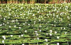Reviere Lanke und Prenden Sommer 2016  Bogensee (Forstamt Pankow / Berliner Forsten) Tags: flora wasser wolken sonne faun wasserpflanzen berlinerforsten forstamtpankow revierlankeprenden