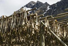 Rptitions (Larch) Tags: wood mountain fish snow june norway montagne island juin fishing repetition neige cod poisson lofoten bois drying codfish pche norvge schage rptitions morue leslofoten