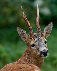 Morning visitor (Magnus_Lindberg) Tags: deer antlers lookingback rdjur