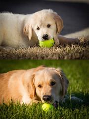 Yogi '15 and '16 (R24KBerg Photos) Tags: yogi dog goldenretriever transformation change growth puppy cute handsome beautiful animal canine 2016 2015 canon greenvillenc pet tennisball