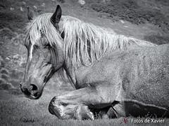 Mulat (Fotos de Xavier) Tags: blackandwhite horse mountain nature wildlife natura olympus catalunya pyrenees pirineos pirineus ripolles mulat omdem1