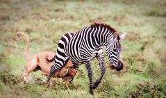 Zebra with lion attached (Photobirder) Tags: tanzania nca eastafrica ngorongoroconservationarea zebracaughtbylioness zebraheldbyhindlegsbylioness