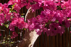 GR2012_0042_Selby (jake.jacobson) Tags: pink nikon bougainvillea bonsai d300 selbygardens gardenreflections sarasotafl