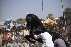 Dancing Horse, Pushkar (me suprakash) Tags: energy pushkar blackhorse rajsthan villagefair rawenergy dancinghorse pushkarmela nikond90 pushkarcattlefair