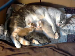 Malibu and the gang (Jimmy Legs) Tags: webcam kittens malibu dilute calico neonatal adoptable 8daysold