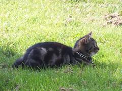 Woody #2 (Moldovia) Tags: pet animal cat fur eyes feline sitting woody ears pointandshoot paws pointshoot laying fujifilmfinepixhs20exr