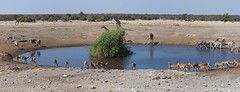 Meeting point / Punto de reunin (Oscar Cubillo) Tags: africa water pool animal puddle nationalpark agua pano zebra giraffe gazelle namibia etosha springbok sabana panormica poza gacela orix cebra parquenacional jirafa sabanah