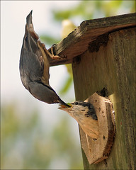 Male nuthatch feeds young (Foto Martien (thanks for over 2.000.000 views)) Tags: holland bird netherlands dutch asia europa europe nest nederland ave fugl oiseau veluwe sittaeuropaea vogel nestbox pjaro a77 azi spettmeis harskamp trepadeiraazul eurasiannuthatch boomklever nestkast thegalaxy kleiber nestkastje sptmejse nichoir zorgboerderij ucello nistksten ntvcka trepadorazul sittelletorchepot picchiomuratore cajanido passiflorahoeve brhlklesn martienuiterweerd martienarnhem mygearandme mygearandmepremium minoltamacro100mm28mm mygearandmebronze mygearandmesilver mygearandmegold bayasvackuu mygearandmeplatinum mygearandmediamond ringexcellence dblringexcellence fotomartien kowalikzwyczajny sonyslta77v sonyalpha77 rememberthatmomentlevel4 rememberthatmomentlevel1 rememberthatmomentlevel2 rememberthatmomentlevel3 rememberthatmomentlevel7 rememberthatmomentlevel9 rememberthatmomentlevel5 rememberthatmomentlevel6 rememberthatmomentlevel8