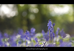 Two bluebells (Paul Simpson Photography) Tags: blue flower nature bluebells purple images backlit naturalworld bluebonnets imagery shallowfocus f32 photosof normanbypark sonya100 imagesof wonderfulflowers may2012 paulsimpsonphotography