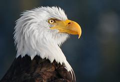 IMG_5337 (PamsWildImages) Tags: portrait canada nature bc wildlife baldeagle raptor haliaeetusleucocephalus headstudy canon5dmarkii pamswildimages princerupertphotographer