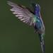 Violet Sabrewing, Campylopterus hemileucurus, Hummingbird
