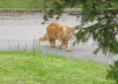 Prowling across the carpark looking for his next victim. (Emile Sela) Tags: community maine coon pennine camphill