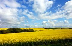 Colza - Rapeseed (from train) (Silvana *_*) Tags: flowers blue sky verde green field yellow clouds denmark nuvole giallo cielo campo fiori plain azzurro rapeseed pianura colza danimarca