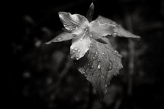 Passing Showers (Scott Withers Photography) Tags: oregon trillium columbiarivergorge larchmountain
