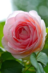 2012  Pierre de Ronsard (Yorkey&Rin) Tags: macro rose japan garden may g3  45mm rin kawasaki 2012 pierrederonsard