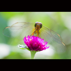 Fragile wings (-clicking-) Tags: lighting pink light flower macro green nature floral beautiful beauty backlight garden wings flora dof natural blossom dragonfly bokeh details insects bloom lovely fragile specanimal chuồnchuồn côntrùng 10nw fragilewings bestcapturesaoi coth5 elitegalleryaoi 5wonderwall