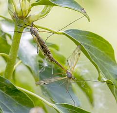 IMG_0116 Crane Flies (Tipula lateralis), Brandon Marsh, Warwickshire 22May12 (Lathers) Tags: brandon warwickshire craneflies nbw brandonmarsh canon7d tipulalateralis wildinthemidlands wkwt canonef100f28lismacro 22may12