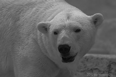 Eisbr (Ursus maritimus) (hellboy2503) Tags: portrait canon photography tiere photo images portrt 7d getty creatures schwarzweiss weiss schwarz tier gettyimages jrg kreatur eisbr jger 100400 thegalaxy gettyimagescallforartists gettyimagesartistpicks hellboy2503 rememberthatmomentlevel4 rememberthatmomentlevel1 rememberthatmomentlevel2 rememberthatmomentlevel3 rememberthatmomentlevel7 rememberthatmomentlevel5 rememberthatmomentlevel6 rememberthatmomentlevel8