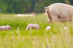 Wheeeee (baumbaTz) Tags: field canon germany deutschland rebel pig spring kiss may feld mai pigs brest m42 piglet pentacon manualfocus schwein stade piglets 2012 frühling schweinchen x3 schweine 200mm niedersachsen lowersaxony 500d ferkel t1i 20120531