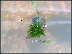 1. IN-MH-MUM-LYN - Other Shrimps (4) (Kquester) Tags: aquarium shrimp prawn glassshrimp redclawmacro
