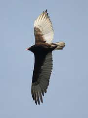 Turkey Vulture 1 (B-Boy 2) Tags: turkey vulture