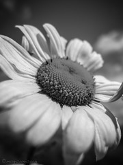 bw daisy (mahvelousmagicunicorn) Tags: uk bw flower macro monochrome canon blackwhite powershot daisy lightroom g12 thorne