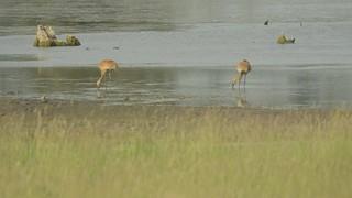 Sandhill Cranes and Juvenile? Yellow Headed Blackbird at Glacial Park