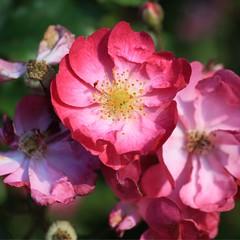 Rosa (!!love_and_lego!! - BUSY -) Tags: rosa rose flower angelamlobefaro italy piedmont biella biellese pink vallesannicolao bokeh macro piemonte italia blume blumen fiore fiori flor flores fleur fleurs