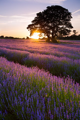 Sunset Lavender (Olly Plumstead) Tags: uk light sunset england plant flower tree field canon bench lens landscape evening purple britain mark south lavender east filter ii lee smell l 17 5d series 40 mm olly grad croydon hitech holder graduated mayfield 1740l purley plumstead woodmansterne banstead gnd mayfieldlavender a2022 5d2