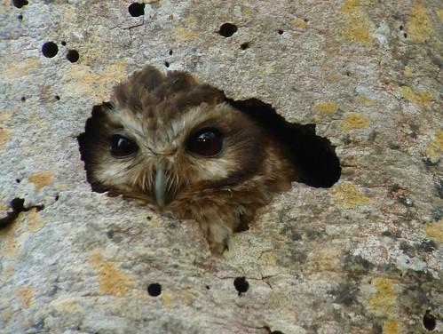 Bare-legged Owl nesting. Soplillar, Cuba.
