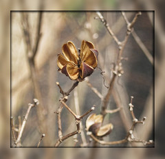 After the Bloom (gtncats) Tags: trees macro nature closeup crepemyrtle photographyforrecreation