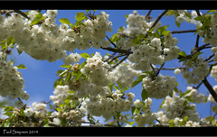 White Blossom (Paul Simpson Photography) Tags: tree nature petals spring bluesky whiteblossom photosof imageof sonya77 paulsimpsonphotography april2014