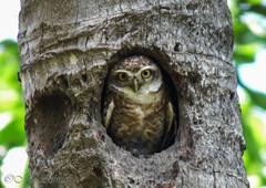 SAM_0444 (mashrafis) Tags: explore owl framebangladesh